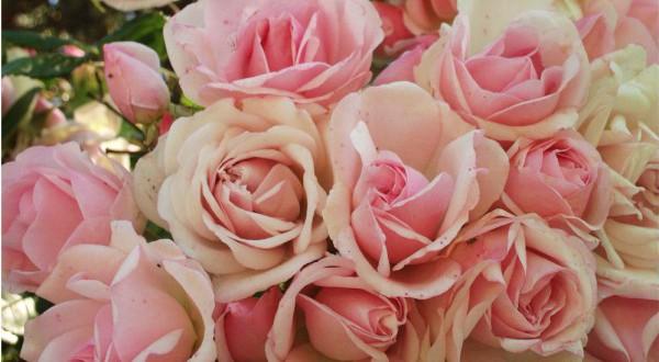 quelles fleurs offrir une femme pour la fete des m res florassimo. Black Bedroom Furniture Sets. Home Design Ideas