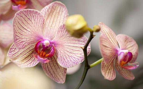 orchidee-phalaenopsis-2